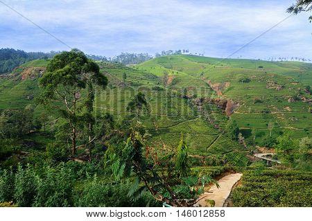 Tea plantations near Nuwara Eliya, Shri Lanka.