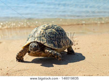 Turtle on the sandy beach.Egypt. Red Sea