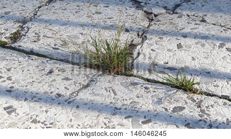 Grass grows in the cracks between the tiles on the sidewalk