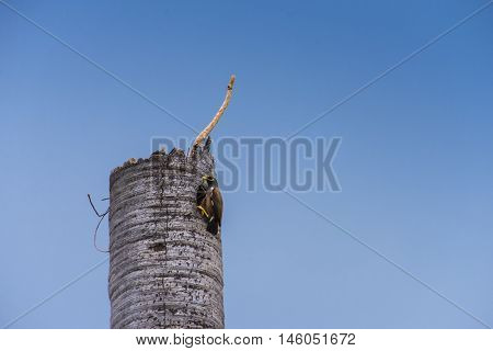 Common myna (acridotheres tristis) bird on coconut tree die, background blue sky