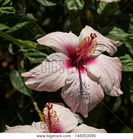Pink Hibiscus Rosa-Sinensis: Beautiful Flowering Plant, Nature Theme