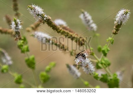 Black Cohosh: White Efflorescence and Bee - Nature