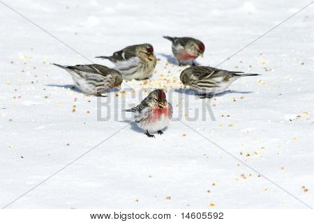 Birds Eating Seeds On Snow