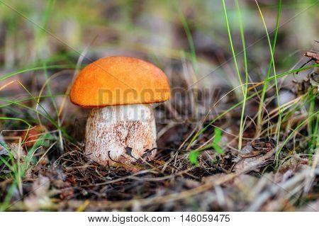Closeup of mushroom leccinum aurantiacum in grass