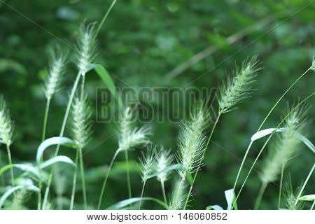 Foxtail grasses against blurred background taken on a sunny day