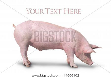 Pig isolated side