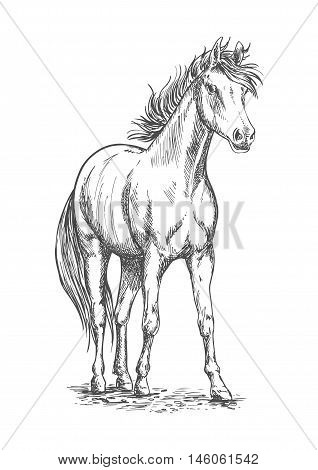 Racehorse sketch of arabian horse stallion with muscular chest, long mane and tail. Horse racing symbol, equestrian sporting competition theme design poster