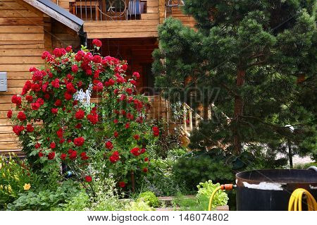beautiful formal garden close up photo with pine tree and red roses bush arch