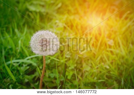 Close up of blowball over green background. Selective focus