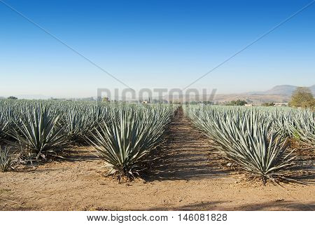 A Tequila agave landscape in Jalisco Mexico