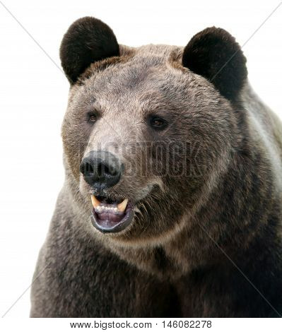 Brown bear portrait. Wild brown bear. Male bear. Bear face