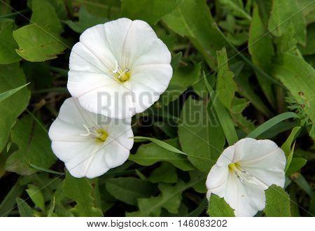 Flowering field bindweed (Convolvulus arvensis) in a garden