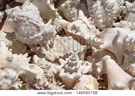Seashells background macro shot of beautiful seashells.