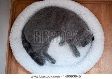 British Short-hair Cat Sleeping