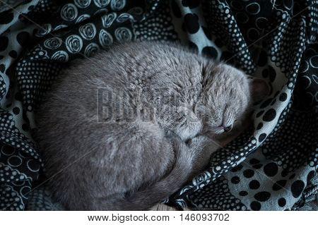 British Short-hair Kitten Sleeping