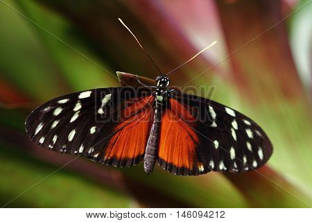 Tropical Butterfly Dido Longwing macro in green leafs