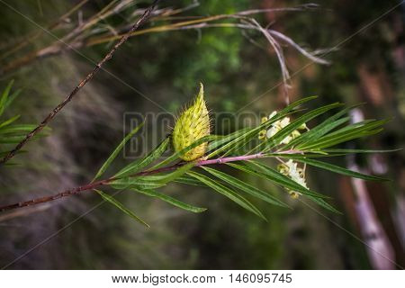 Branch of tree with yield, Madagascar