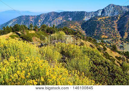 Field of sage plant flowers on a mountain ridge taken in Mt Baldy, CA
