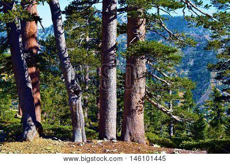 Pine Tree forest with a mountain range beyond taken in Mt Baldy, CA
