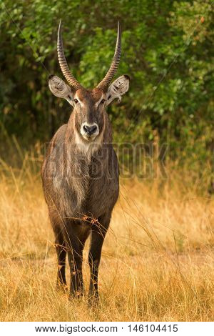 Waterbuck in Nakuru Park in Kenya during the dry season