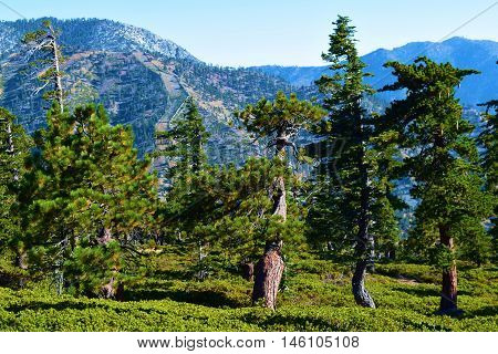Pine forest with a mountain range beyond taken at Mt Baldy, CA
