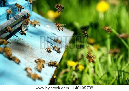 domestic bees . swarm of bees near a tap-hole . summer day in the apiary