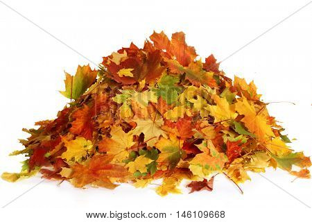 Pile of autumn maple colored leaves isolated on white background.