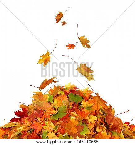 Pile of autumn maple colored leaves isolated on white background