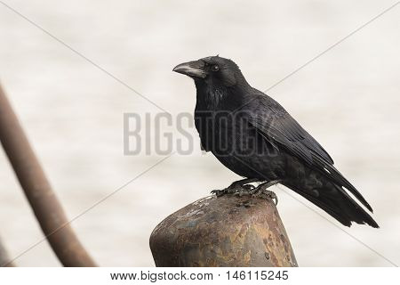 Carrion Crow (Corvus corone) standing on a Bollard in a Harbour