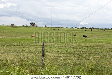 Cows in a field before a rainstorm.