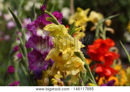 Flowers of the garden gladiolus (Gladiolus x hortulanus)