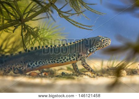 Male Submersed Alpine Newt In Pool