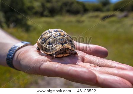 Juvenile Spur-thighed Tortoise On Hand