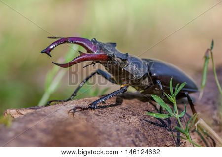 Stag Beetle Outdoor On A Log