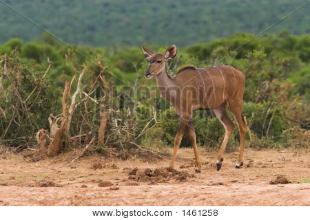 Young female kudu in the african bush poster