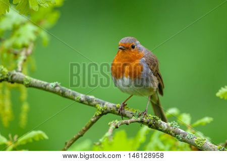 Robin Perched On A Flowering Oak Branch