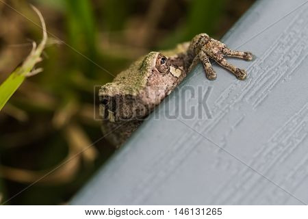 Small four toed frog on shutter in yard.