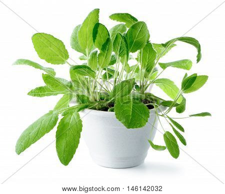 Sage (Salvia officinalis) in flower pot isolated on white  background
