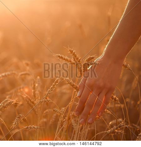 Woman's hand touch wheat ears at sunset. Shallow depth of field.