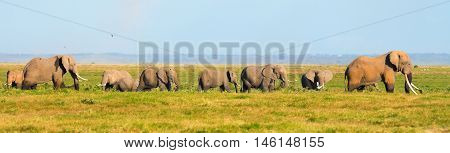 Panorama of elephants walking in the grass in Amboseli national park Kenya