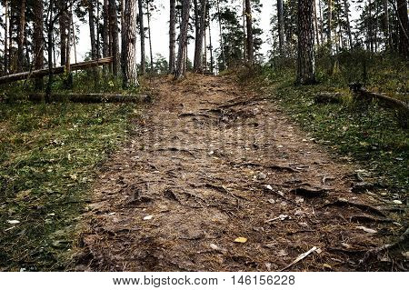 Pine forrest walkway with pine roots, Samara, Russia