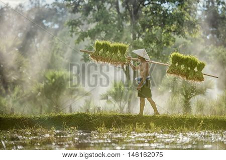 Hard Work Farmer In Rice Green Fields Holding Rice Baby. They Were Soaked With Water And Mud To Be P