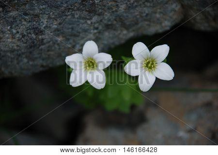 Bazen doğada çiçekler bir çift göz gibidir.