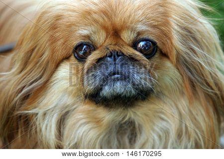 close -up dog breed Pekingese red color