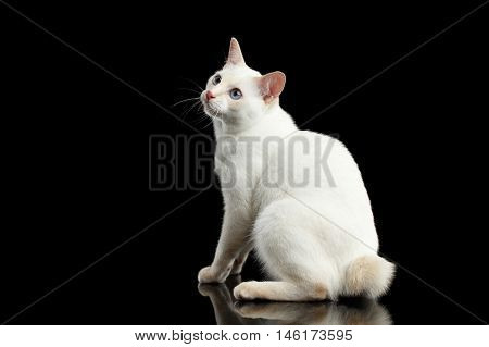 Funny Blue eyed Female Cat of Breed Mekong Bobtail Sitting and Curious Looking up, Isolated Black Background, Color-point Beige Fur, Profile view on Tail