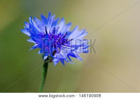 Blue wild corn flower macro in nature