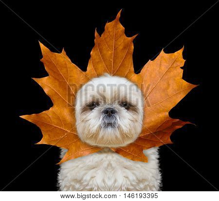 Cute dog with a leaf instead hat on the head -- isolated on black