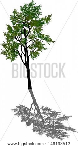 illustration with pine tree isolated on white background