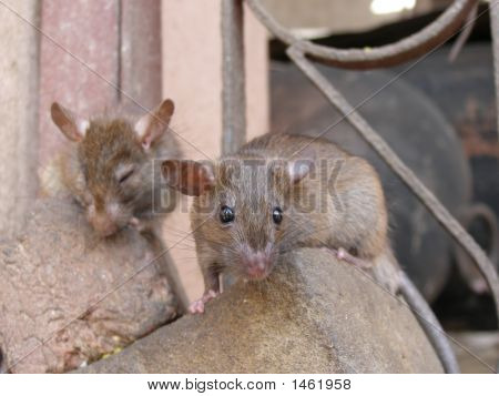 Two Friendly Rats