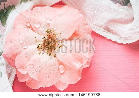Pink rose with water drops on pink background. Top view with copy space